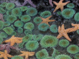 Starfish and Sea Anemones in Tidepool  Olympic National Park  Washington  USA