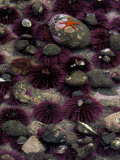 Purple Sea Urchins and Star Fish  Salt Creek Recreational Area  Washington  USA
