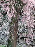 Cherry Blossoms and Red Cedar Tree Trunk  Washington  USA