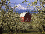 Red Barn in Pear Orchard  Mt Hood  Hood River County  Oregon  USA