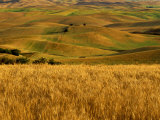 Mid-Season Fields Rolling Hills  Palouse  Washington  USA