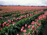 Tulip Field  Skagit Valley  Washington  USA