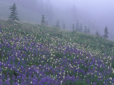 Lupine and Foggy Bistort Meadow  Mt Rainier National Park  Washington  USA