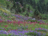 Meadow of Subalpine Lupine and Magenta Paintbrush  Mt Rainier National Park  Washington  USA