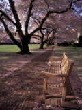 Japanese Cherry Trees at the University of Washington  Seattle  Washington  USA
