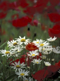 White Daisies and Red Poppies  near Crosby  Tennessee  USA