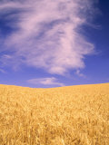 Harvest Time Wheat Crop  Palouse  Washington  USA