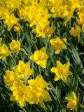 Yellow Daffodils  Elmira College  New York  USA