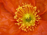 Icelandic Poppy Detail  Cannon Beach  Oregon  USA