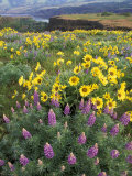 Balsam Root Meadow with Lupine  Columbia River Gorge  Oregon  USA