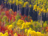 Colorful Aspens in Logan Canyon  Utah  USA