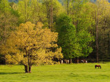 Horses Grazing in Meadow at Cades Cove  Great Smoky Mountains National Park  Tennessee  USA