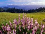 Blue-Pod Lupine in Bloom  Oregon  USA