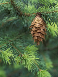 Closeup of Douglas Fir Cone  Olympic National Park  Washington  USA