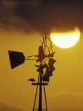Harris Hawk Eating Prey on Windmill at Sunset  Brooks County  Texas  USA