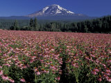 Trout Lake  Mt Adams with Echinacea Flower Field  Washington  USA