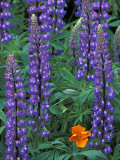 Lupine with Orange Poppy  Enumclaw  Washington  USA