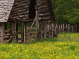 Buttercups and Cantilever Barn  Pioneer Homestead  Great Smoky Mountains National Park  N Carolina