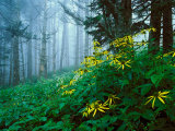 Golden-Glow Flowers  Great Smoky Mountains National Park  North Carolina  USA