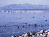 Phalaropes and Gulls on the Great Salt Lake  Utah  USA