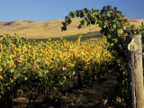 Yakima Valley Vineyards  Washington  USA