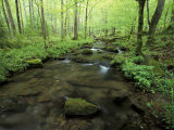 Small Stream in Dense Forest of Great Smoky Mountains National Park  Tennessee  USA
