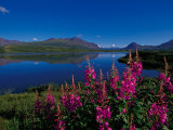 Common Fireweed in the Alaska Range  Alaska  USA