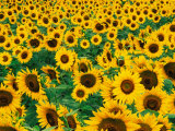 Field of Sunflowers  Frankfort  Kentucky  USA