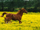 Arabian Foal and Mare Running Through Buttercup Flowers  Louisville  Kentucky  USA