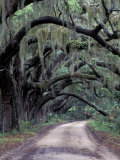 Live Oaks Line a Dirt Road  Cumberland Island  Georgia  USA