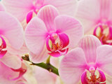 Hybrid Orchids  Selby Gardens  Sarasota  Florida  USA