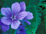 Wild Geraniums of the Aleutian Islands  Alaska  USA