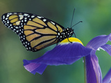 Monarch butterfly on Iris  Bloomfield Hills  Michigan  USA