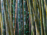 Bamboo Forest  Selby Gardens  Sarasota  Florida  USA