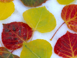 Colorful Aspen Leaves on Snow  Colorado  USA
