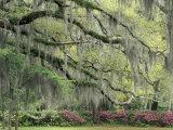 Live Oak Tree Draped with Spanish Moss  Savannah  Georgia  USA