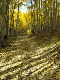 Aspen Tree Shadows and Old Country Road  Kebler Pass  Colorado  USA