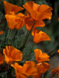 California Poppies  Antelope Valley  California  USA