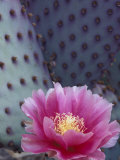 Flowering Beavertail Cactus  Arizona-Sonora Desert Museum  Arizona  USA