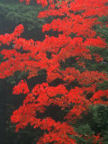 Red Foliage in Acadia National Park  Maine  USA
