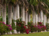 Row of Stately Cuban Royal Palms  Bougainvilleas Flowers  Miami  Florida  USA
