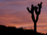 Sunset at Lee Flat with Joshua Tree  Death Valley National Park  California  USA