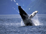 Humpback Whale Breaching  Inside Passage  Alaska  USA
