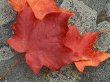 Sugar Maple Foliage in Fall  Rye  New Hampshire  USA