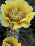Engelmann&#39;s Prickly Pear  Saguaro National Park  Arizona  USA