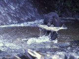 Black Bear Holds Chum Salmon  near Ketchikan  Alaska  USA