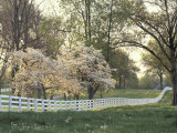 Dogwood Trees at Sunset Along Fence on Horse Farm  Lexington  Kentucky  USA