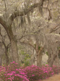Bonaventure Cemetery with Moss Draped Oaks  Dogwood and Azalea  Georgia  USA