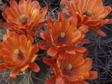Claret Cup Cactus Flowers  San Xavier  Arizona  USA