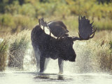 Moose Shower in Katmai National Park  Alaska  USA